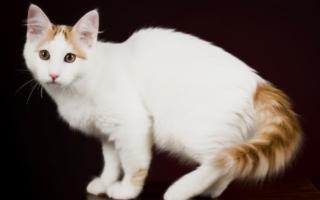 Ванская кошка с красным хвостом и табби
