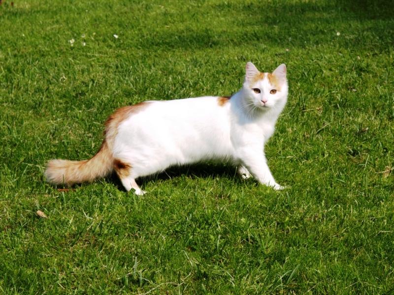 Ванская кошка на зеленой траве