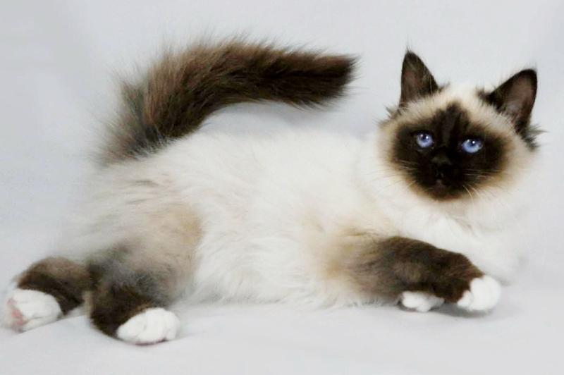Бирманская кошка с пойнтами