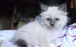 Котенок бирманской кошки