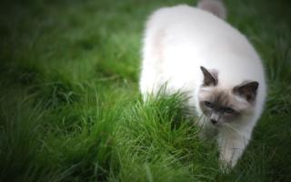 Бирма на зеленой траве