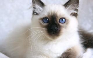 Котенок бирмы с темной мордочкой