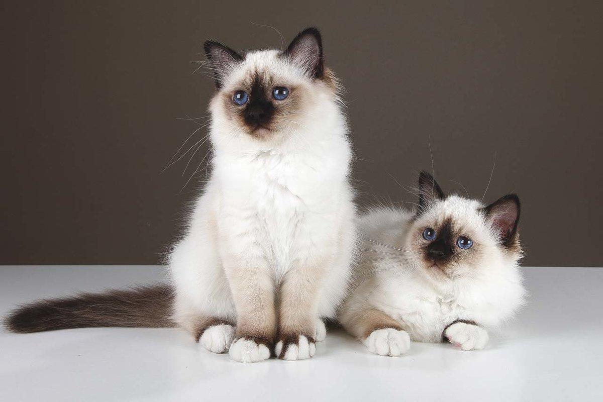 Два бирманских котенка