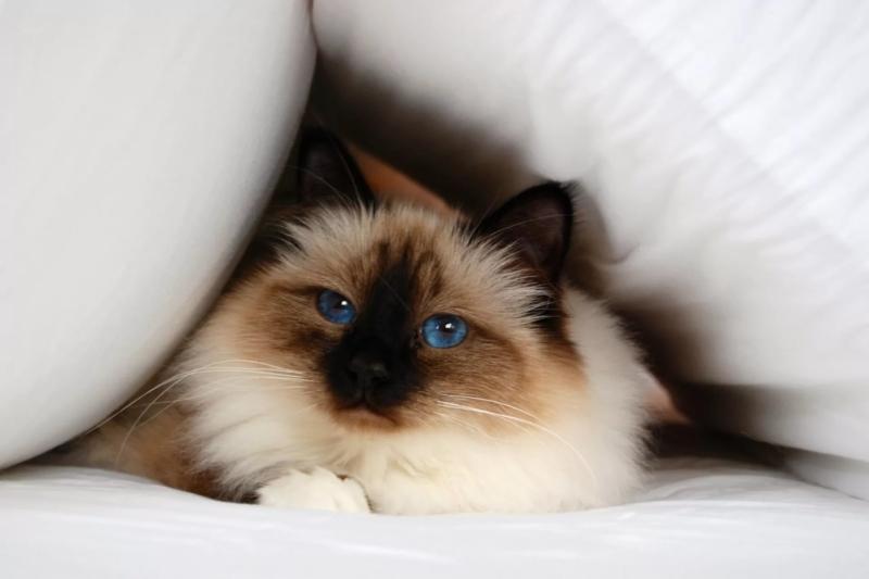 Бирманская кошка в одеяле
