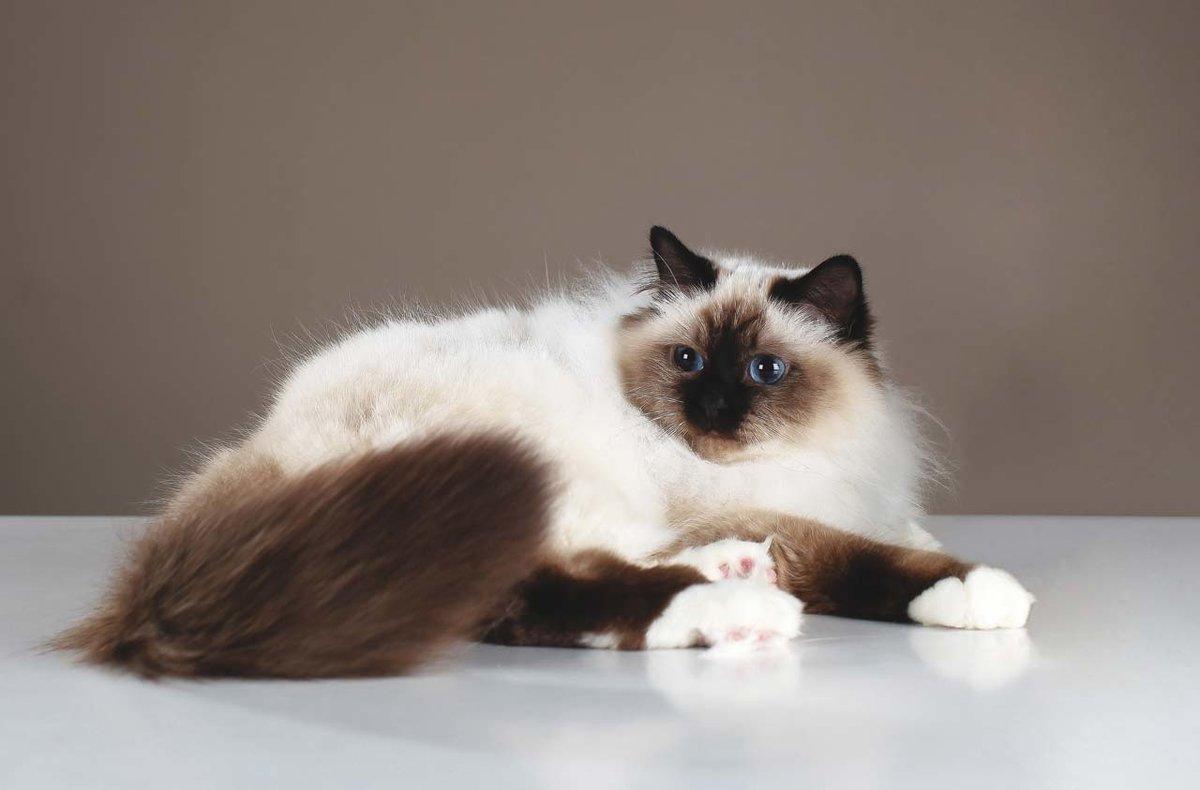 Бирманская кошка с темной мордочкой и хвостом
