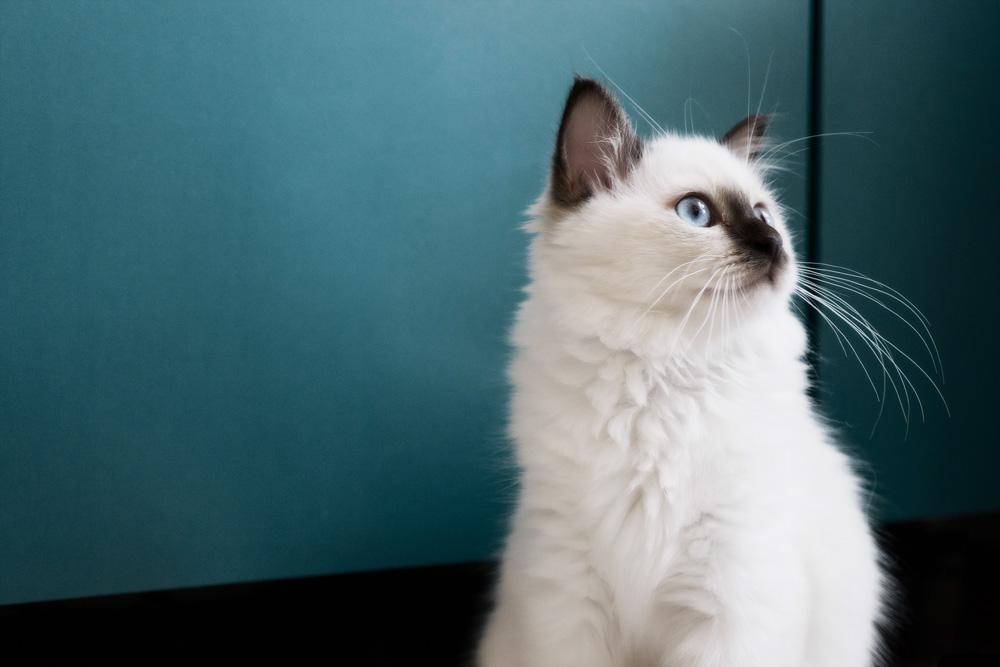 Бирманская кошка на голубом фоне