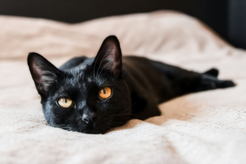 Бомбейская кошка с желтыми глазами
