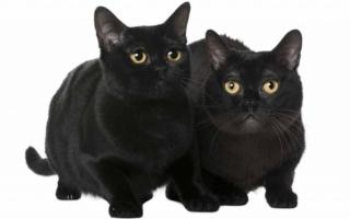 Два бомбейских черных кота
