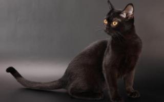 Бомбейский кот с янтарными глазами