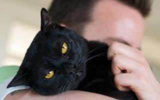Бомбейская кошка на руках человека