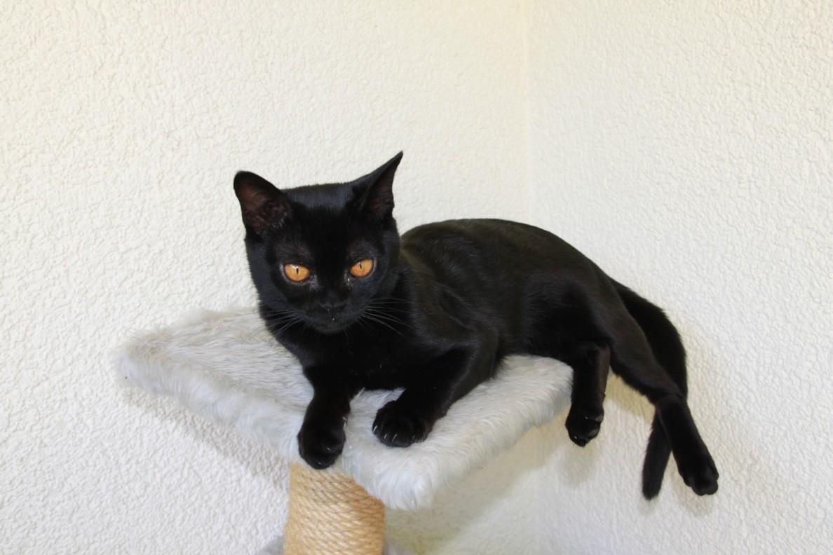 Бомбейская кошка на когтеточке