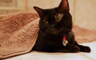 Бомбейская кошка с ошейником-бубенцом