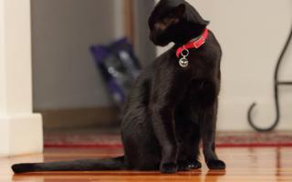 Бомбейская кошка с красным ошейником