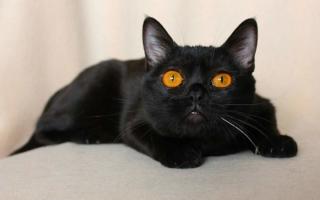 Бомбейский кот с оранжевыми глазами