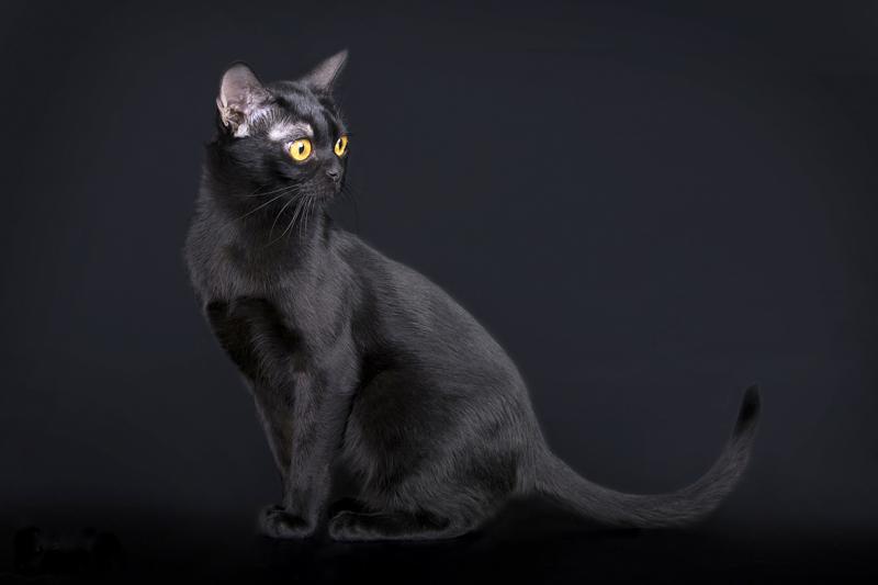 Бомбейская кошка на черном фоне