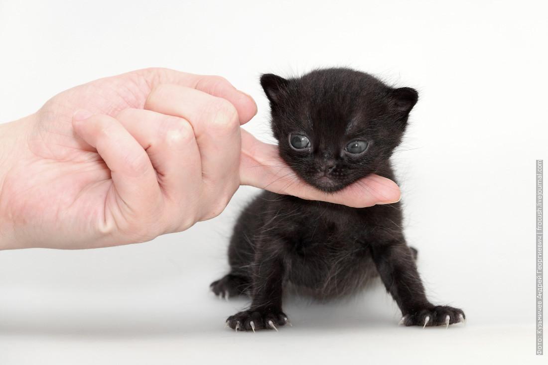 Маленький бомбейский котенок с голубыми глазами