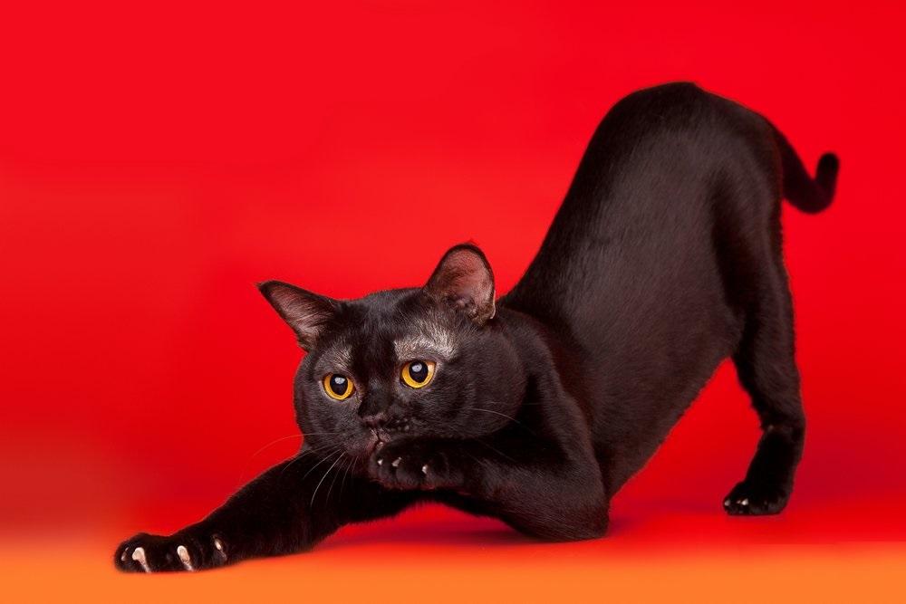 Бомбейский кот на красном фоне