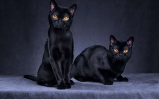 Две бомбейские кошки
