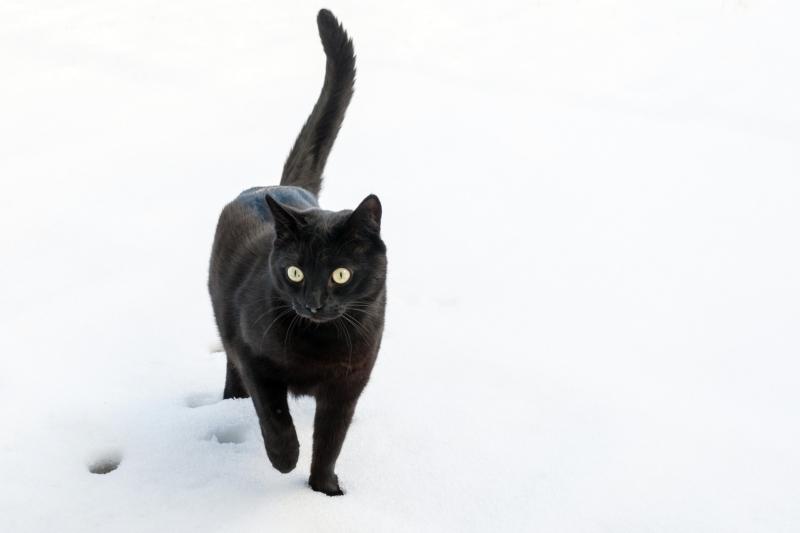 Бомбейская кошка на снегу