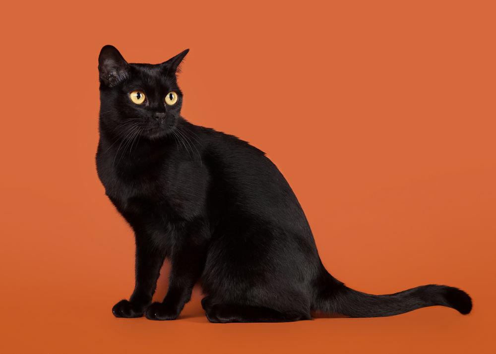 Бомбейская кошка на рыжем фоне
