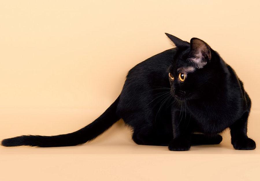 Бомбейская кошка на желтом фоне