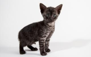 Котенок породы египетская мау черный дым