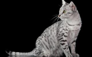 Кошка египетской мау