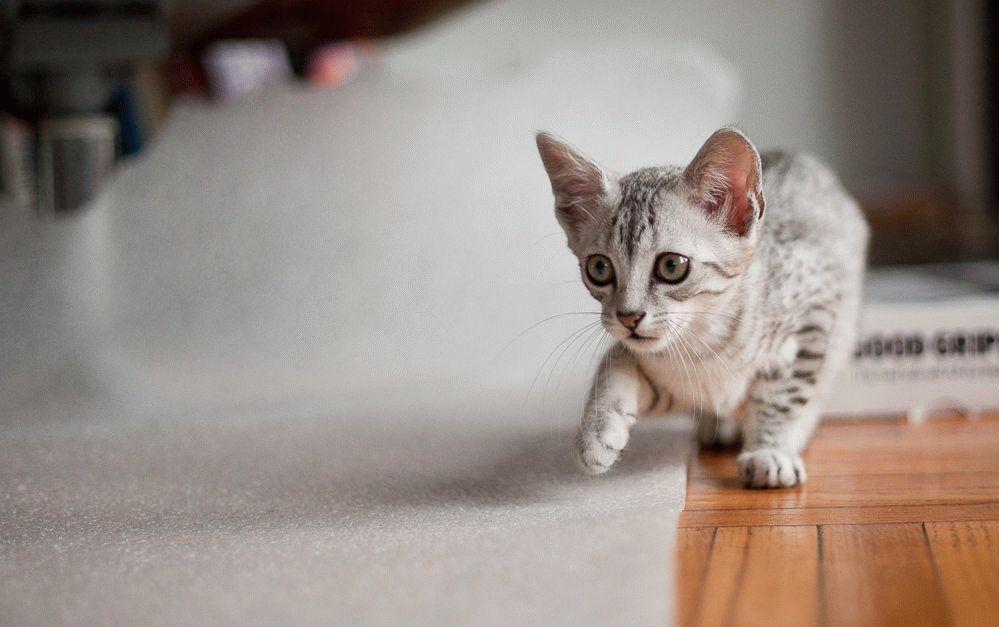 Котенок египетской мау
