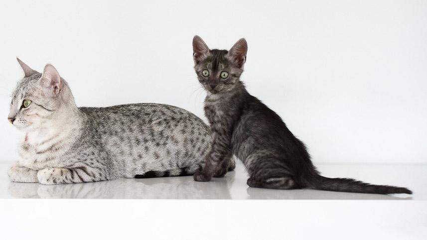 Котенок египетской мау с мамой