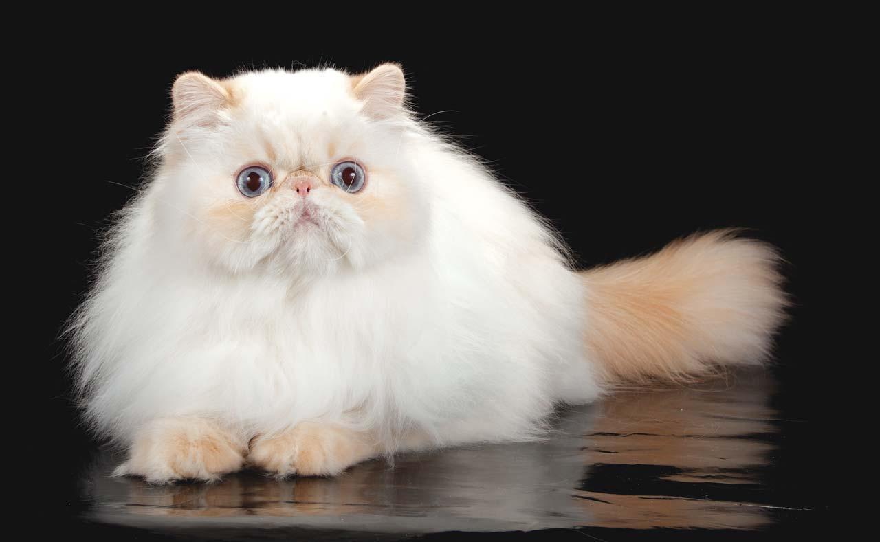Гималайская кошка с персиковыми пойнтами