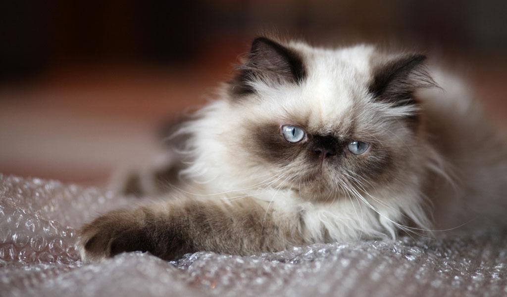 Шоколадный окрас у гималайского кота