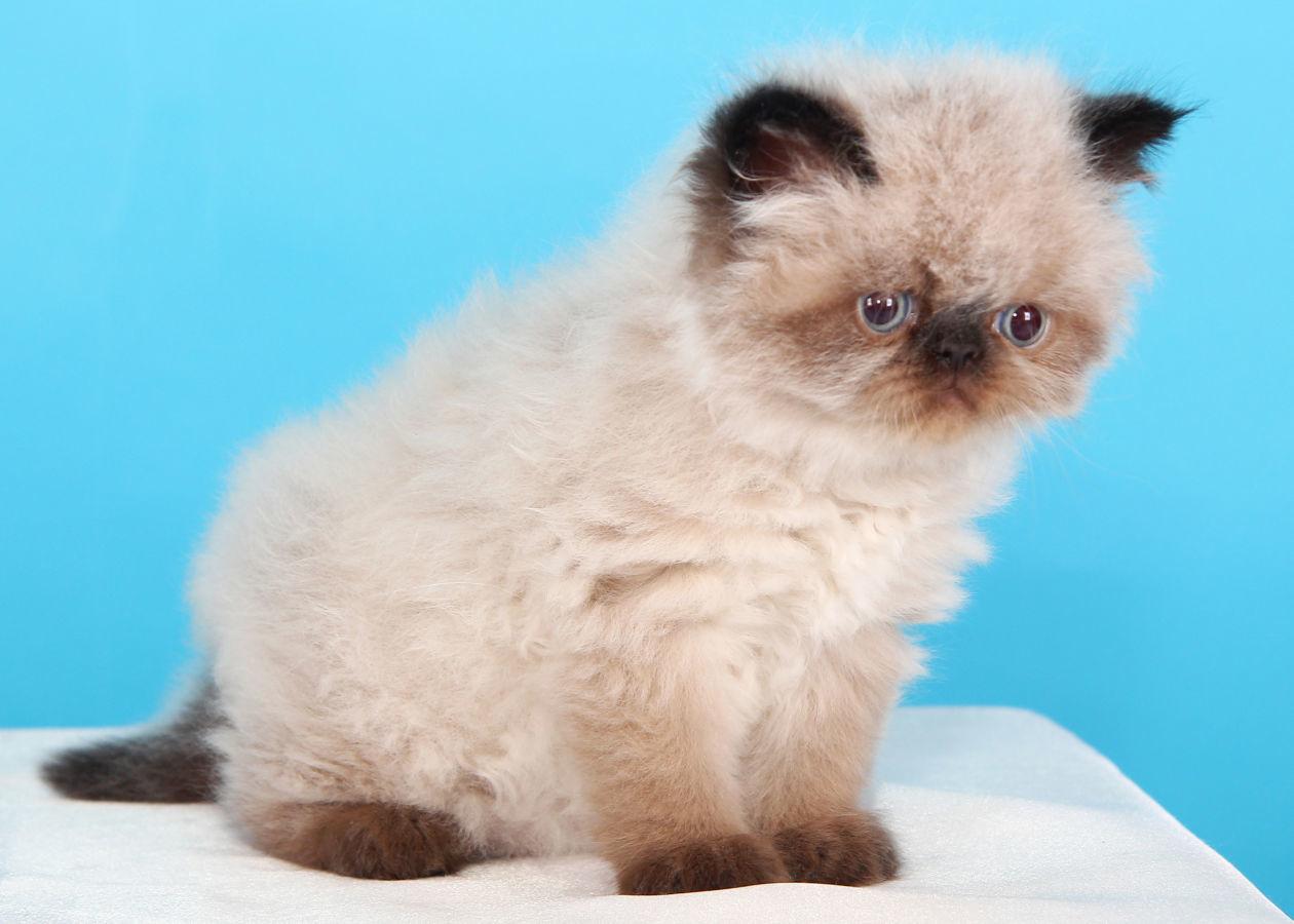 Маленький котенок гималаец