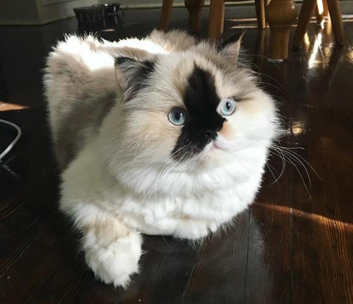 Черепаховый окрас гималайской кошки