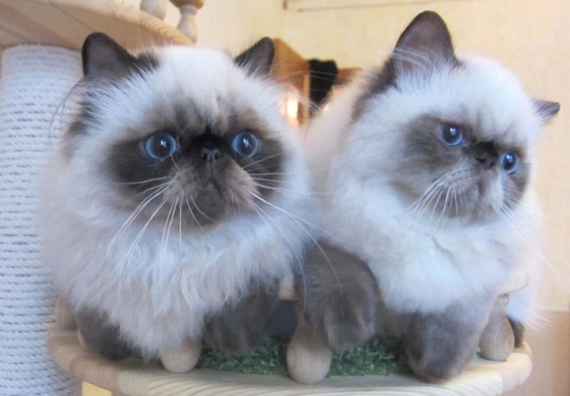 Два гималайских котенка