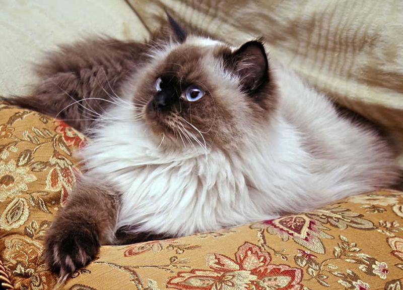 Гималайская кошка с традиционным окрасом