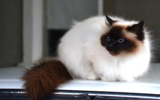 Гималайская кошка с яркими пойнтами