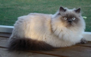 Порода гималайских кошек