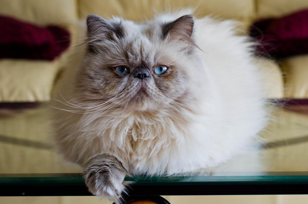 Гималайская кошка с голубыми глазами
