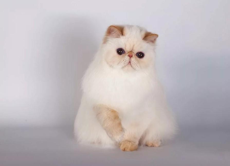 Гималайский кот с темно-голубыми глазами