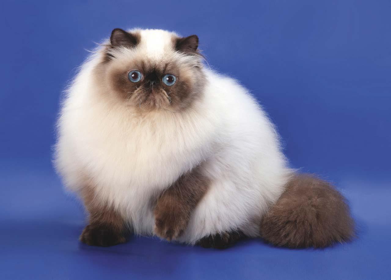 Пушистая гималайская кошка