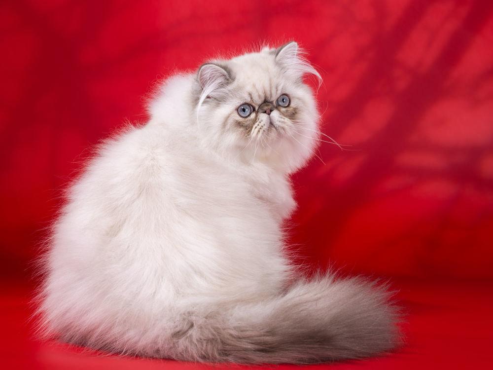 Гималайская кошка на красном фоне