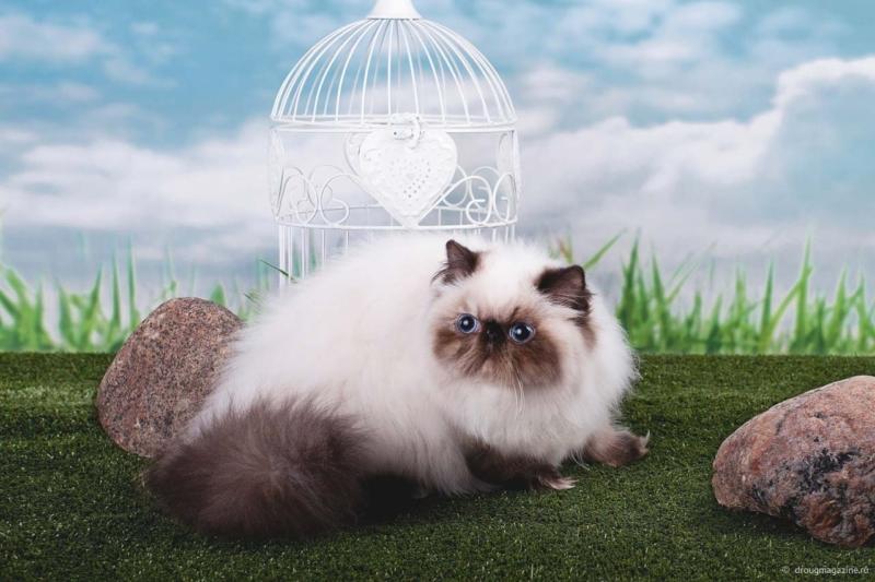 Гималайская кошка окрас колор-пойнт