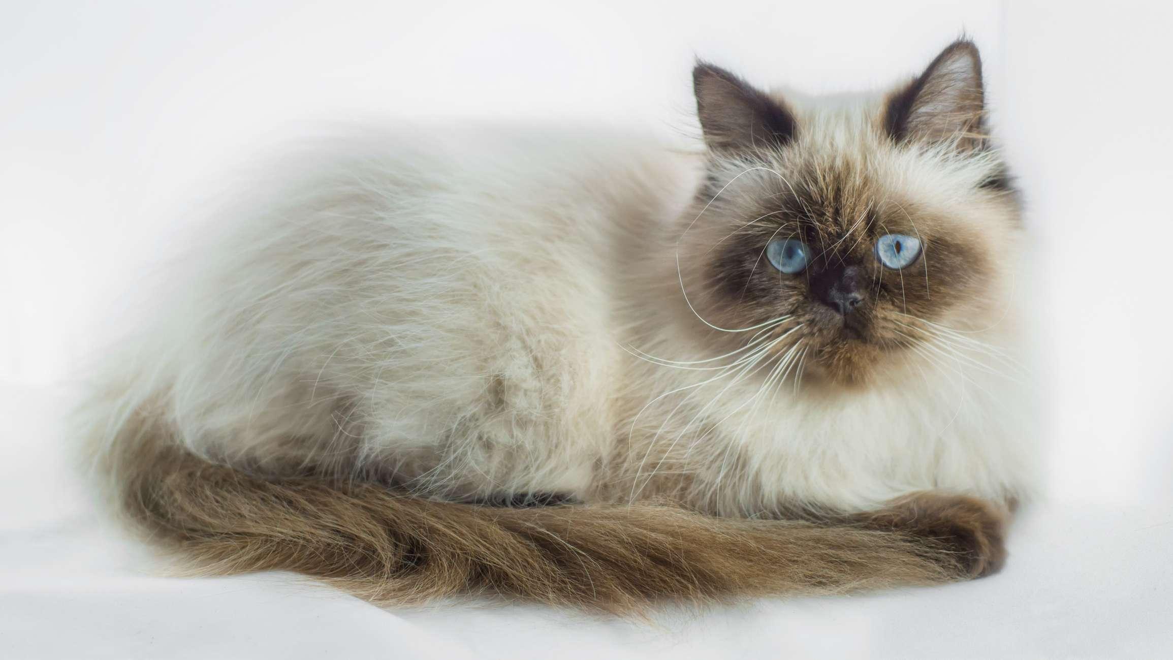 Гималайская кошка с коричневыми мордочкой и хвостом