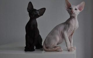 Черный и белый котята петерболда