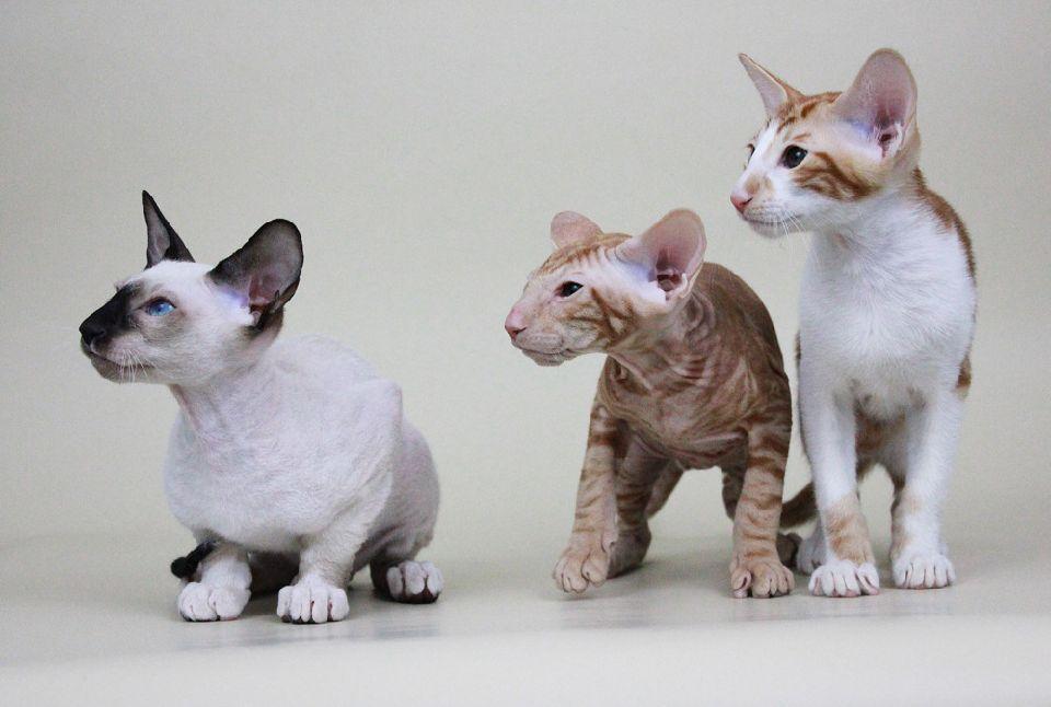 Три котенка петербургского сфинкса