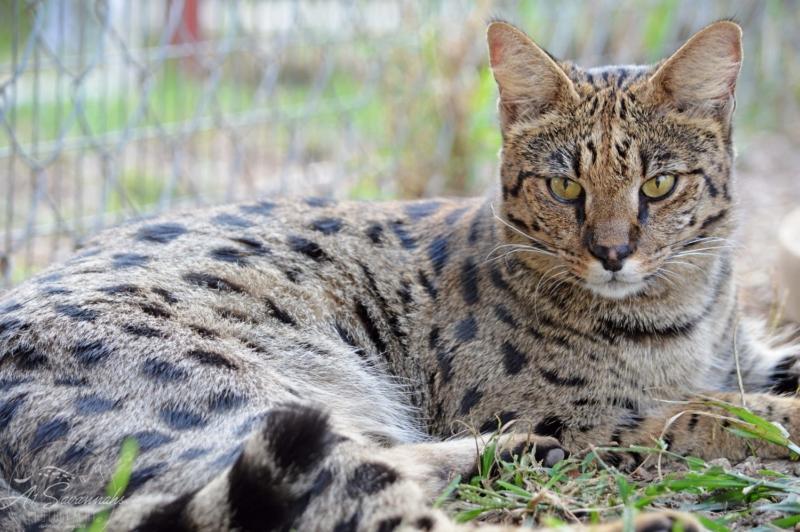 Кошка саванна на траве