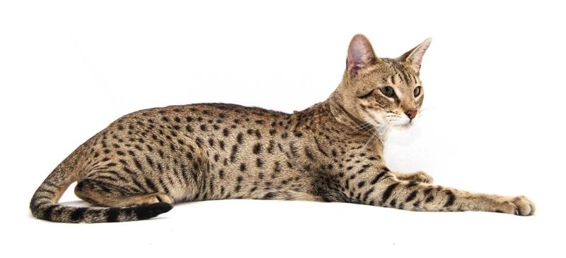 Саванна - это дорогая порода кошек