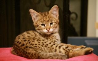 Золотистый котенок саванны