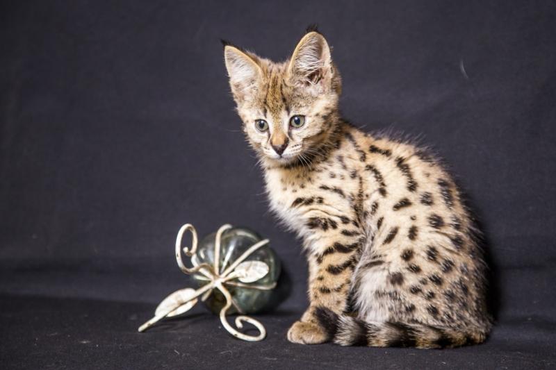 Маленький котенок саванны с игрушкой