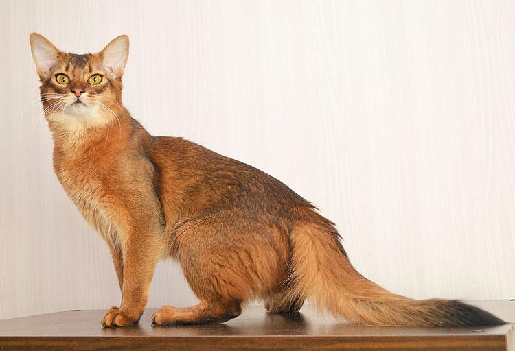 Сомалийская кошка на светлом фоне